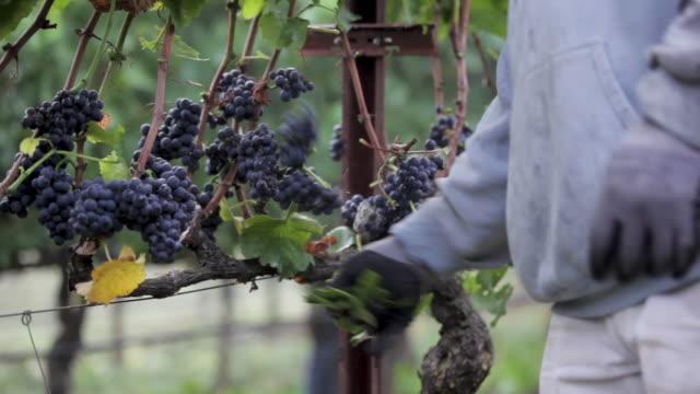 på vingården - beskärning grape vines - beskära bildbanksvideor och videomaterial från bakom kulisserna