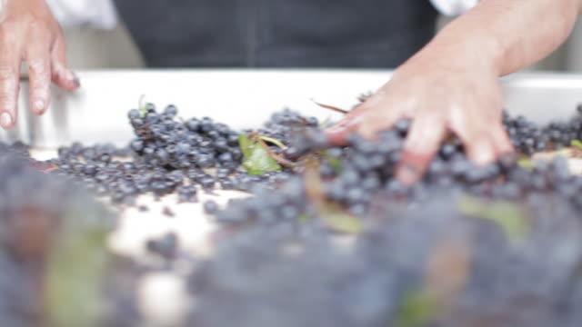 at the vineyard - sorting grapes - nastro trasportatore video stock e b–roll