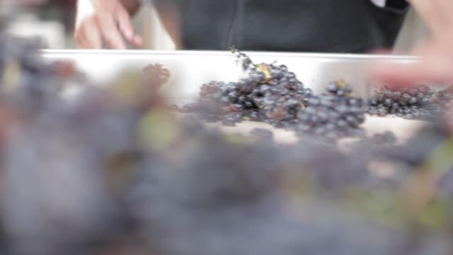 vidéos et rushes de au vignoble - tri des raisins - raisin noir