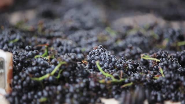 vídeos y material grabado en eventos de stock de at the vineyard - clasificación de uvas - oficio agrícola