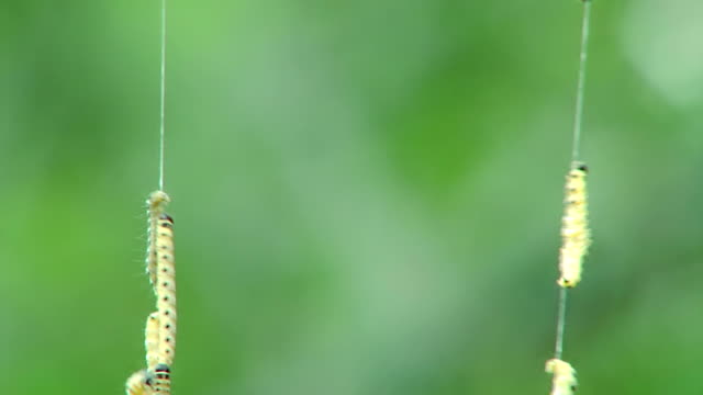 сaterpillars sul web - parallelo video stock e b–roll