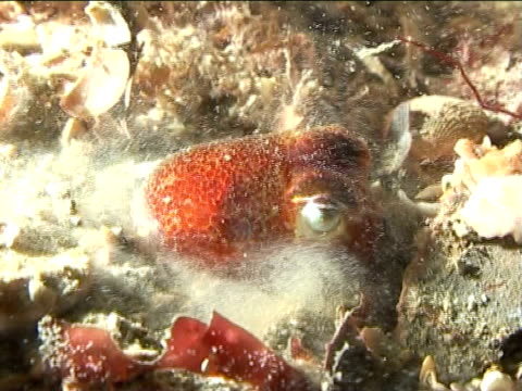 vídeos de stock, filmes e b-roll de atlantic cuttlefish, cu, trying to hide using tentacles, night. english waters, united kingdom - camuflagem