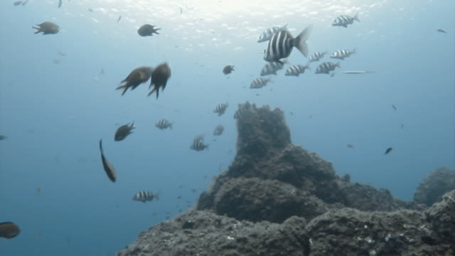 Atlantic Damselfish swimming with Zebra Bream fish near the Canary Islands