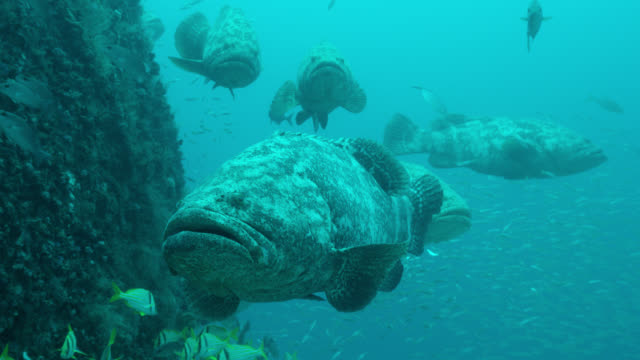 atlantic goliath groupers swim around shipwreck, florida - grouper stock videos & royalty-free footage