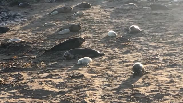 atlantic grey seal pup numbers at one of the largest colonies in england just off the northumberland coast have reached a new record thanks to a good... - gråsäl bildbanksvideor och videomaterial från bakom kulisserna