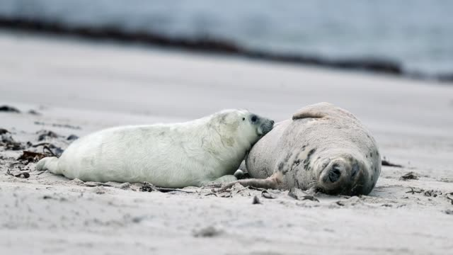 atlantic grey seals and their pups play on the beach in helgoland on december 16 2016 in helgoland germany - north sea stock videos & royalty-free footage