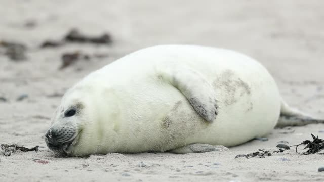 atlantic grey seals and their pups play on the beach in helgoland on december 16, 2016 in helgoland, germany. . - seal animal stock videos & royalty-free footage