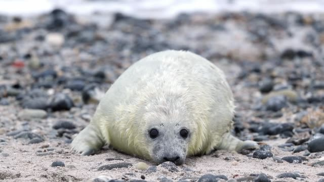 atlantic grey seals and their pups play on the beach in helgoland on december 16, 2016 in helgoland, germany. . - kegelrobbe stock-videos und b-roll-filmmaterial