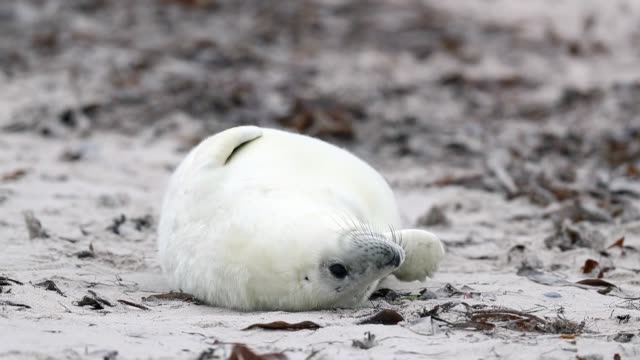stockvideo's en b-roll-footage met atlantic grey seals and their pups play on the beach in helgoland on december 16, 2016 in helgoland, germany. . - kegelrobbe
