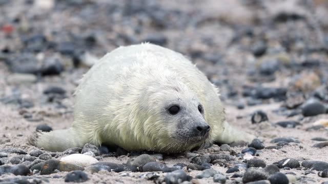 atlantic grey seals and their pups play on the beach in helgoland on december 16 2016 in helgoland germany - seal pup stock videos & royalty-free footage