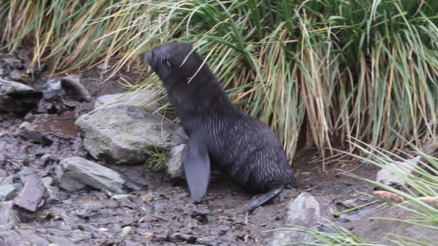 atlantic ocean, south georgia island, cooper bay, a close look at a small fur seal cub - seal pup stock videos & royalty-free footage