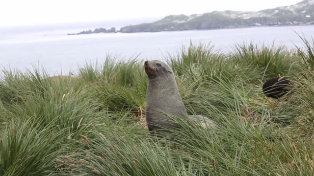 atlantic ocean, south georgia island, cooper bay, fur seals in the high tussock - mittelgroße tiergruppe stock-videos und b-roll-filmmaterial