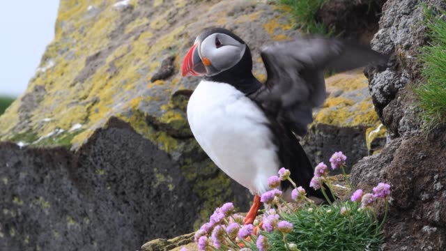 atlantic puffin - animal stock videos & royalty-free footage