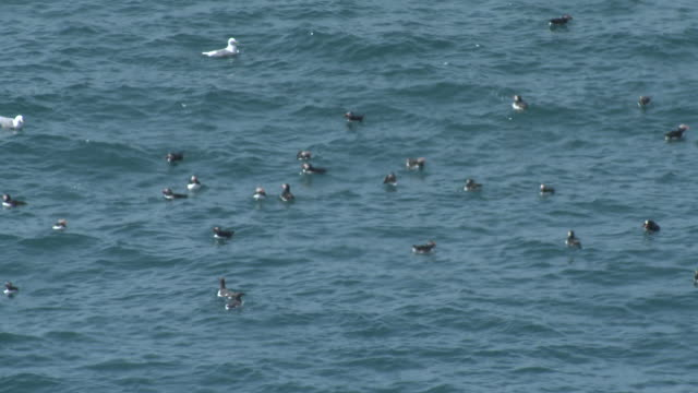 Atlantic Puffins (Fratercula arctica) floating offshore Skomer