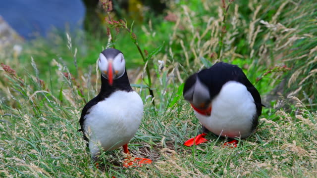 atlantic puffins - auk stock videos & royalty-free footage