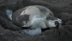 Atlantic ridley sea turtle spawning on a tropical beach