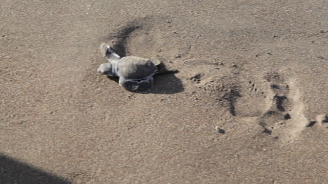 atlantic ridley's native turtles cross the beach at sunrise. tiny newborn turtles head to the sea for the first time. turtle farms in the sand of the beach nature reserve. - tortoise stock videos & royalty-free footage