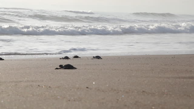 atlantic ridley's native turtles cross the beach at sunrise. tiny newborn turtles head to the sea for the first time. turtle farms in the sand of the beach nature reserve. - turtle bay hawaii stock videos & royalty-free footage