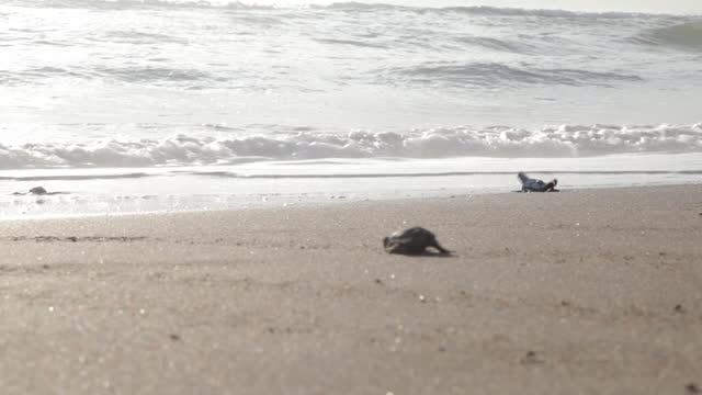 vídeos de stock, filmes e b-roll de atlantic ridley's native turtles cross the beach at sunrise. tiny newborn turtles head to the sea for the first time. turtle farms in the sand of the beach nature reserve. - reptile