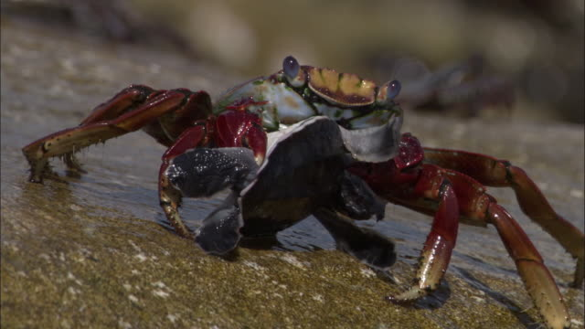 atlantic rock crab (grapsus adscensionis) carries dead green turtle (chelonia mydas) hatchling, ascension island - crab stock videos & royalty-free footage