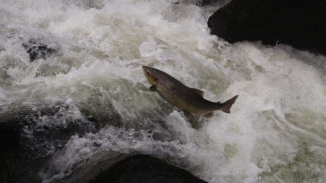 atlantic salmon (salmo salar) leaps up waterfall in river, powys, wales - salmon stock videos & royalty-free footage