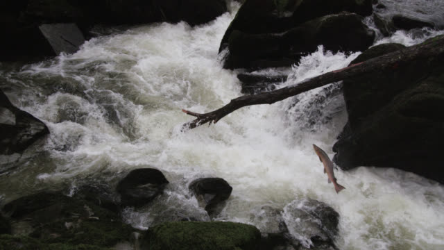 Atlantic salmon (Salmo salar) leaps up waterfall in river, Powys, Wales