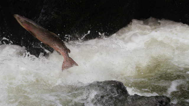 atlantic salmon (salmo salar) leaps up waterfall in river, powys, wales - river stock videos & royalty-free footage
