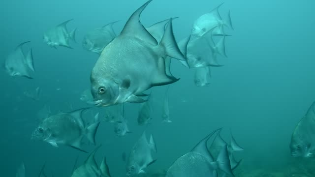 atlantic spadefish school. - ökotourismus stock-videos und b-roll-filmmaterial