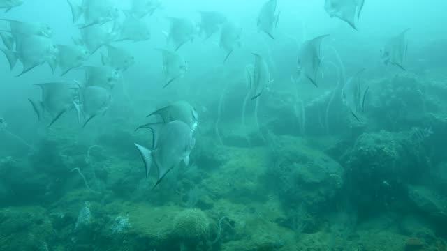 atlantic spadefish school. - ekoturism bildbanksvideor och videomaterial från bakom kulisserna