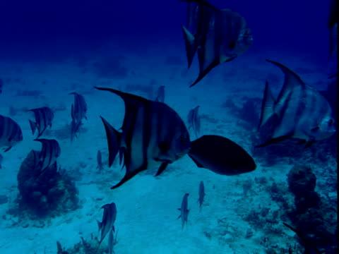 vídeos y material grabado en eventos de stock de atlantic spadefish swim above a coral reef. - parte del cuerpo animal
