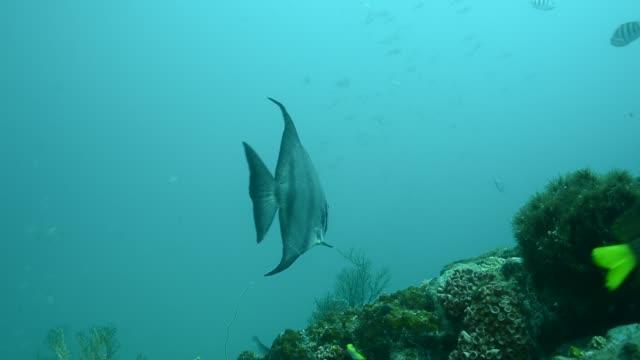 atlantic spadefish. - lippfisch stock-videos und b-roll-filmmaterial