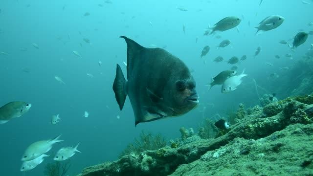 atlantic spadefish. - wrasse stock videos & royalty-free footage