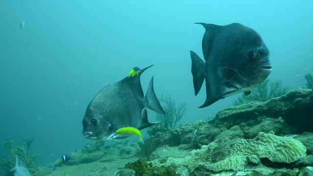atlantic spadefish. - ökotourismus stock-videos und b-roll-filmmaterial