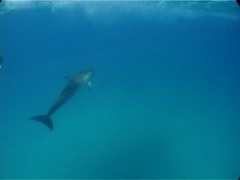 atlantic spotted dolphin bowriding, through frame, bimini, bahamas - spotted dolphin stock videos and b-roll footage