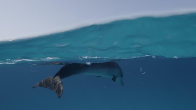 atlantic spotted dolphin dives in blue ocean, bahamas - bimini stock videos & royalty-free footage