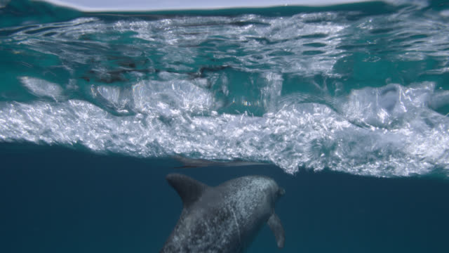 atlantic spotted dolphin dives in blue ocean, bahamas - spotted dolphin stock videos & royalty-free footage