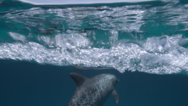 atlantic spotted dolphin dives in blue ocean, bahamas - cetacea stock videos & royalty-free footage
