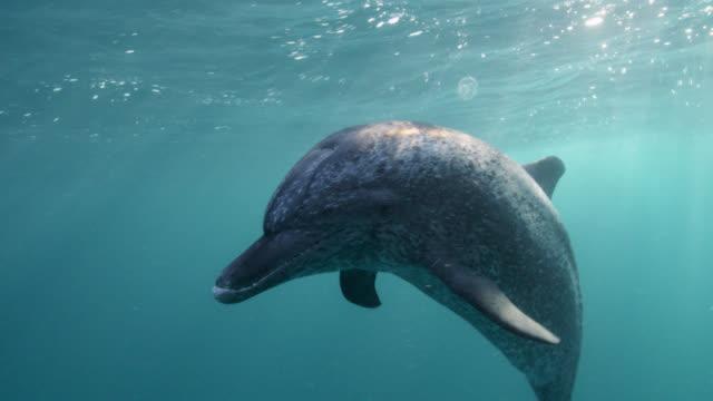 vidéos et rushes de atlantic spotted dolphin peers into camera, bahamas - dauphin tacheté