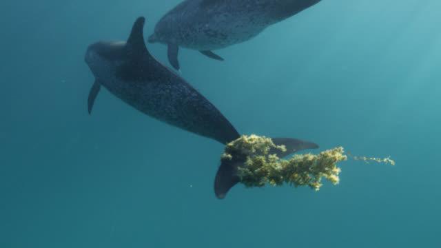 vídeos y material grabado en eventos de stock de atlantic spotted dolphin plays with seaweed, bahamas - bimini