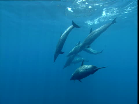 atlantic spotted dolphin pod dives down through sunbeams, panama - cetaceo video stock e b–roll