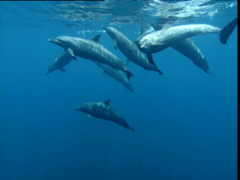 atlantic spotted dolphin pod swims near waters surface, panama - spotted dolphin stock videos and b-roll footage