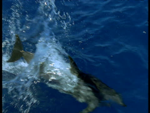 atlantic spotted dolphin porpoises past camera, azores - spotted dolphin stock videos and b-roll footage