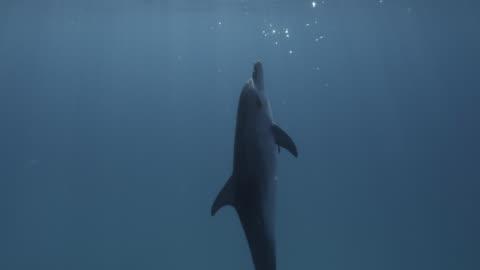 stockvideo's en b-roll-footage met atlantic spotted dolphin rests in blue ocean, bahamas - dolfijn