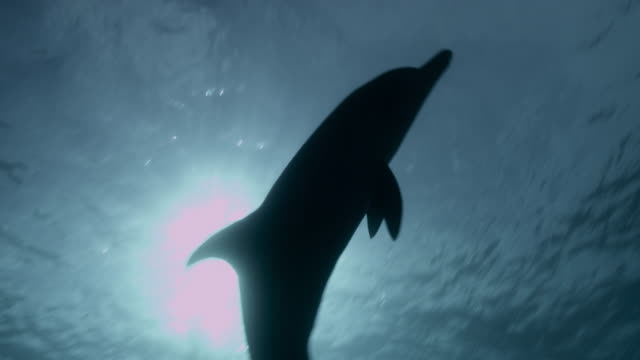 atlantic spotted dolphin silhouetted by sun, bahamas - bimini stock videos & royalty-free footage
