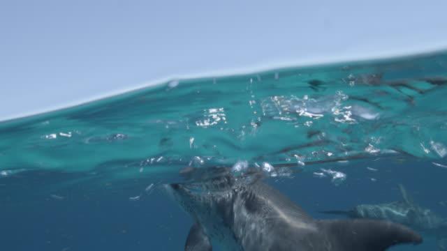 atlantic spotted dolphin surfaces, bahamas - bimini bildbanksvideor och videomaterial från bakom kulisserna