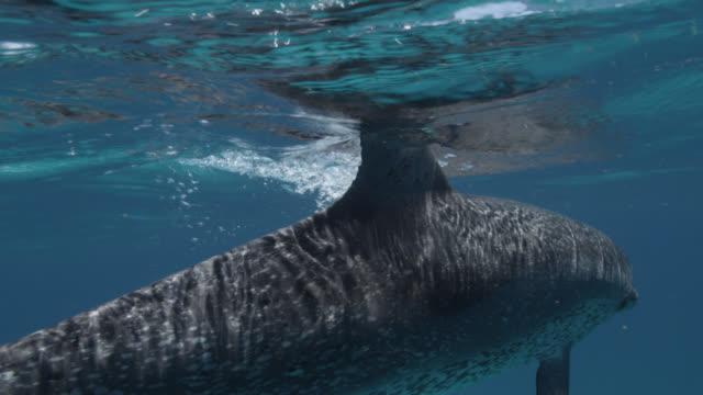 atlantic spotted dolphin surfaces, bahamas - bimini stock videos & royalty-free footage