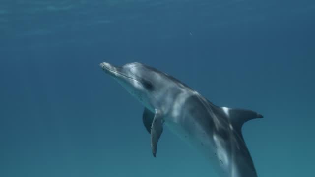 stockvideo's en b-roll-footage met atlantic spotted dolphin swims at surface, bahamas - bimini