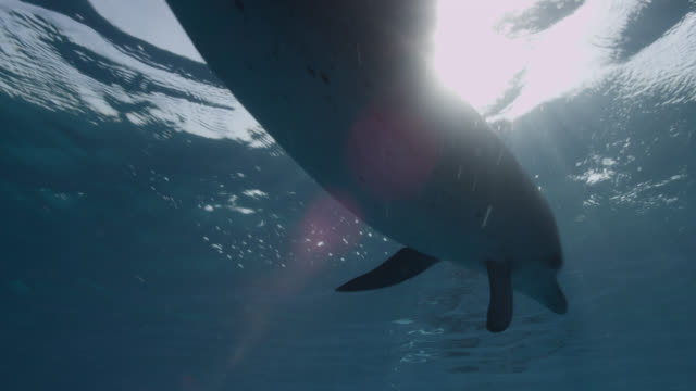 atlantic spotted dolphin swims at surface, bahamas - bimini stock videos & royalty-free footage