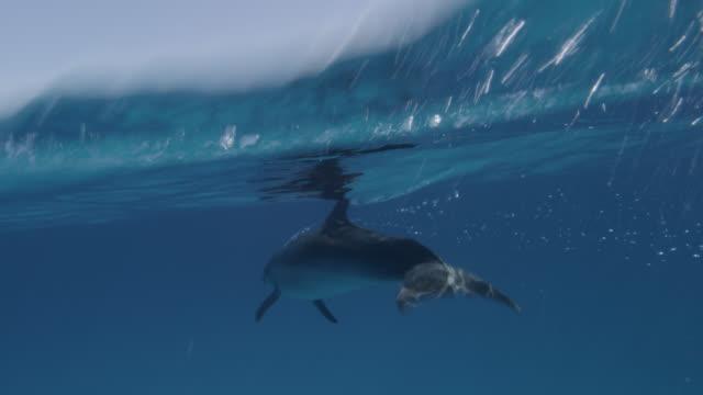 vidéos et rushes de atlantic spotted dolphin swims at surface, bahamas - vue du sol