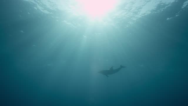 atlantic spotted dolphin swims under sun, bahamas - bimini bildbanksvideor och videomaterial från bakom kulisserna